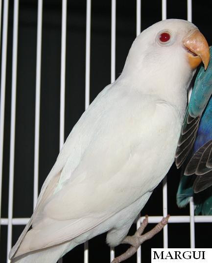 fischer albino (47K)