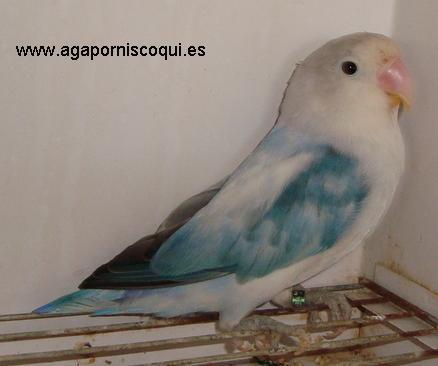 fischer cobalto arlequin sable (91K)