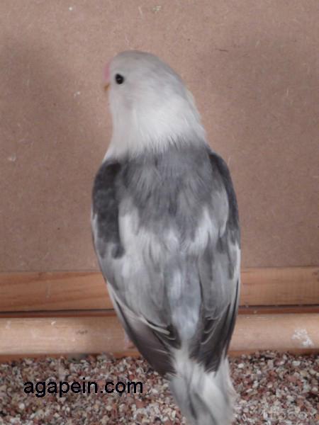 fischer malva arlequin (156K)