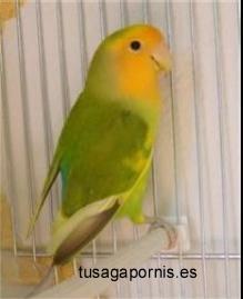 Roseicollis arlequin verde cara naranja (8K)
