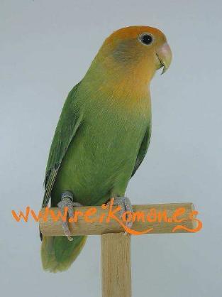 Roseicollis opalino cara naranja (12K)