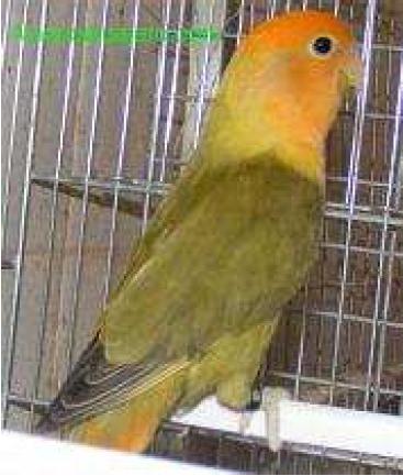Roseicollis opalino verde DD cara naranja (28K)