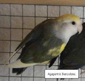 agapornis arlequin turquesa DD (15K)