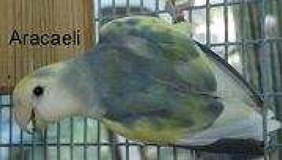roseicollis arlequin turquesa D violeta (17K)